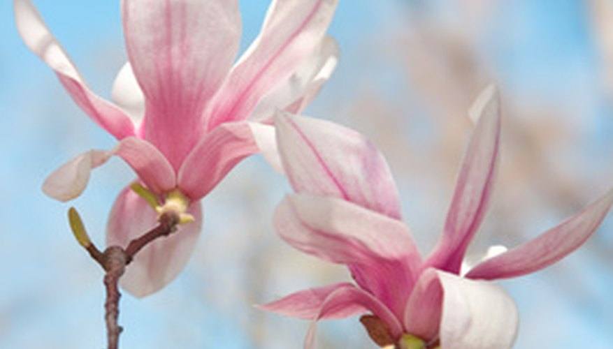 The pink dogwood tree has flaky, pink flowers similar to that of the magnolia.