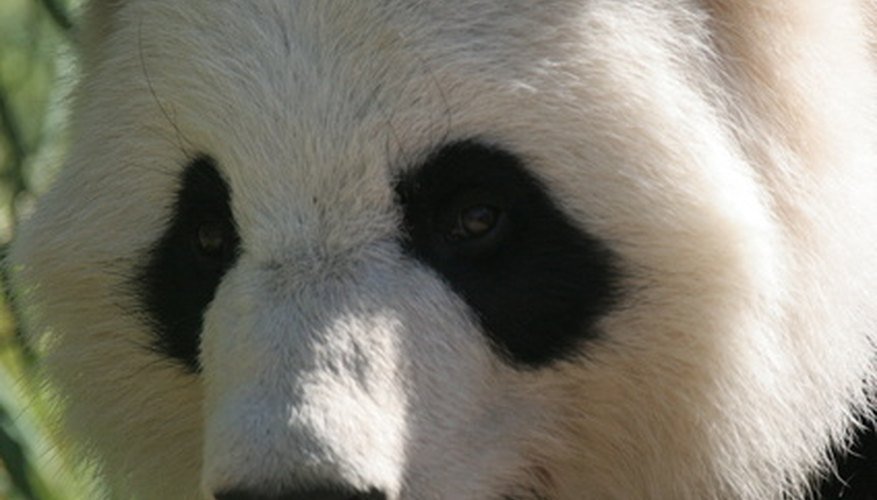 Pandas are among the rarest animals on earth.