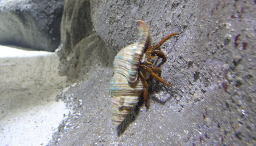 A hermit crab uses an empty shell for added protection.