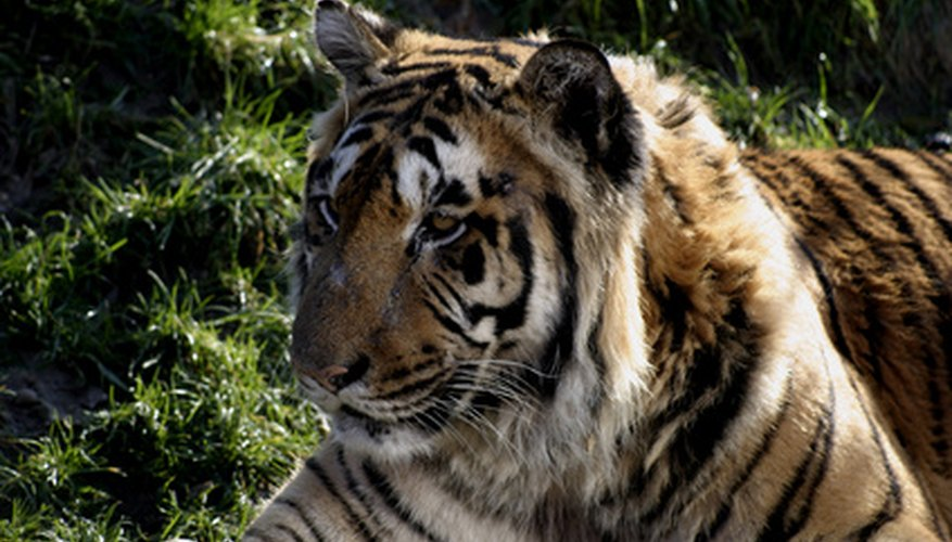 An Amur tiger is an extreme example of a deciduous forest secondary consumer.