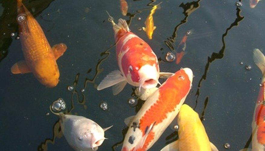 How do koi fish reproduce in freshwater ponds sciencing for Baby japanese koi fish for sale