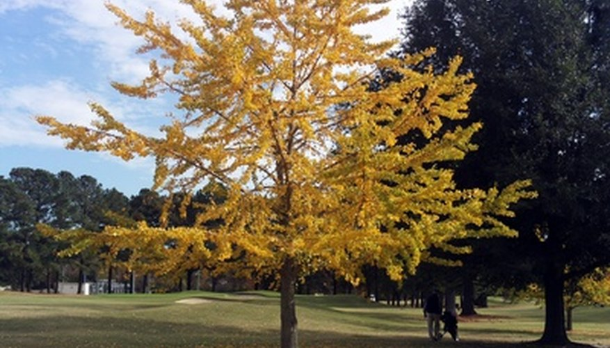 Ginko trees were once considered extinct.
