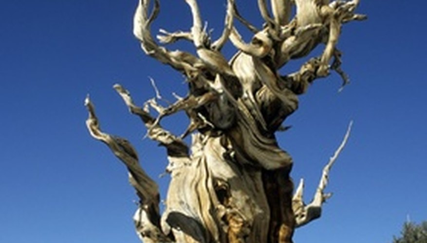 Bristlecone pines conserve moisture before growing each season.