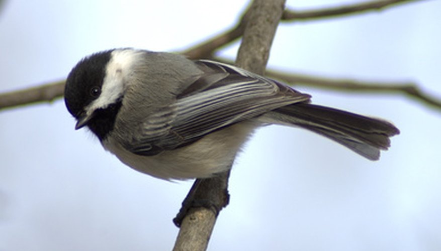 Chickadees taste for sweet foods attracts them to hummingbird feeders.