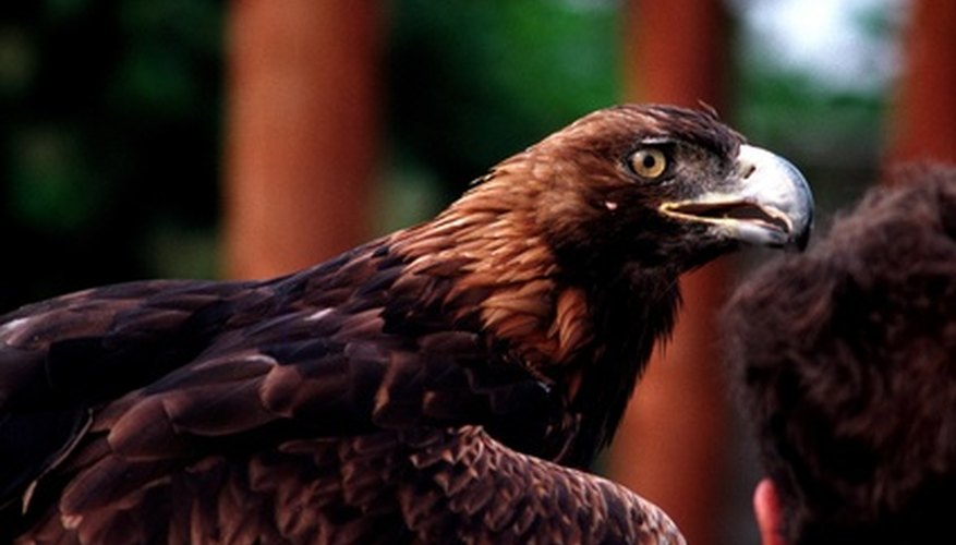 Magnificent golden eagle in its adult plumage.