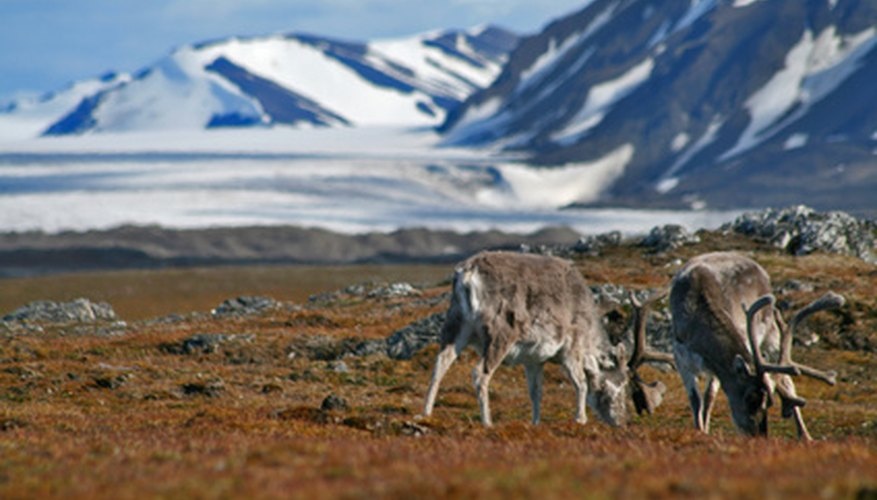 Reindeer and caribou are the only deer where the male, female, and the calves all produce antlers.