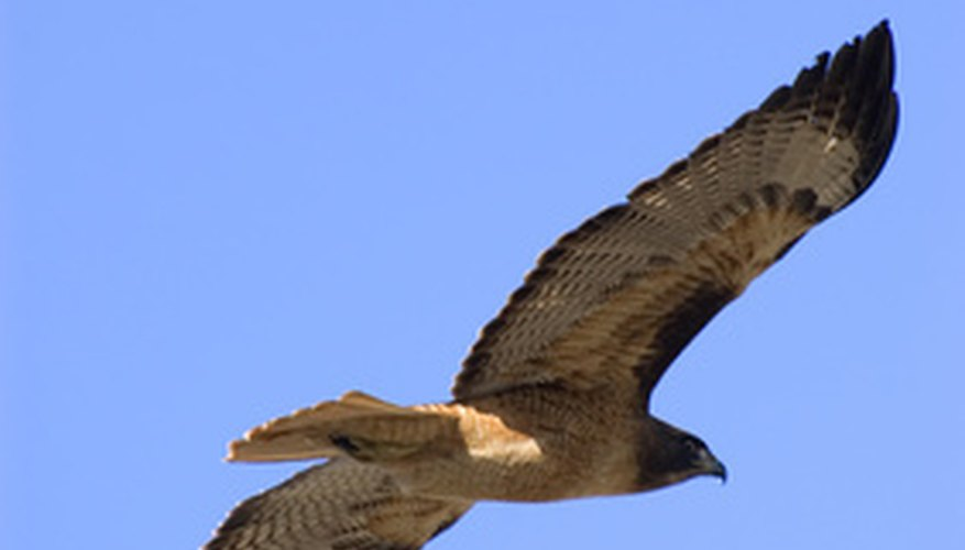 Hawks have hunted the skies since 3000 B.C.