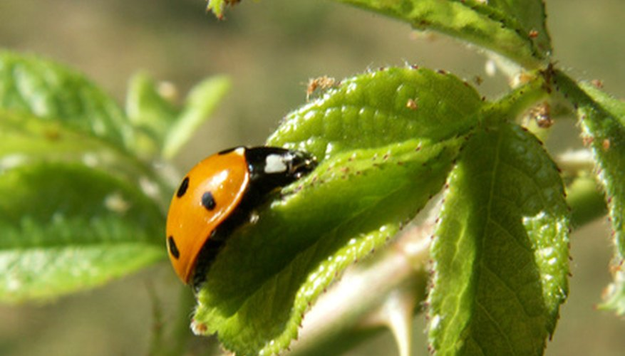 Ladybugs reduce insect problems by eating aphids and insect eggs.