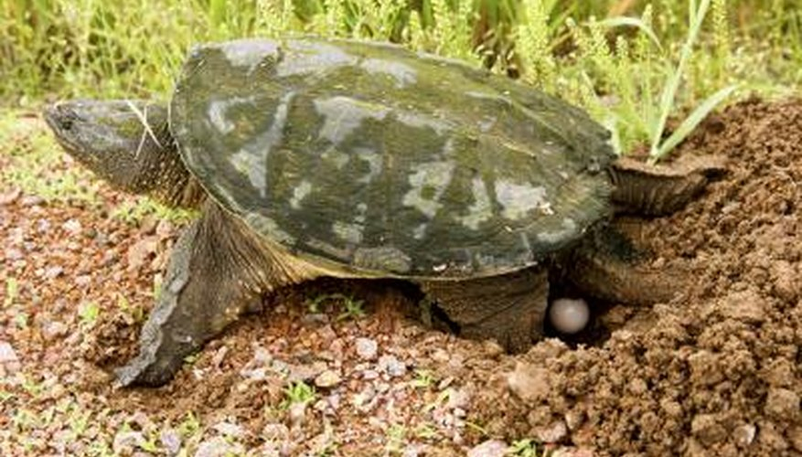 A turtle laying eggs.