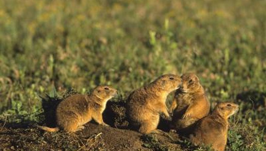 Prarie dogs can be found on the temperate grasslands of America.