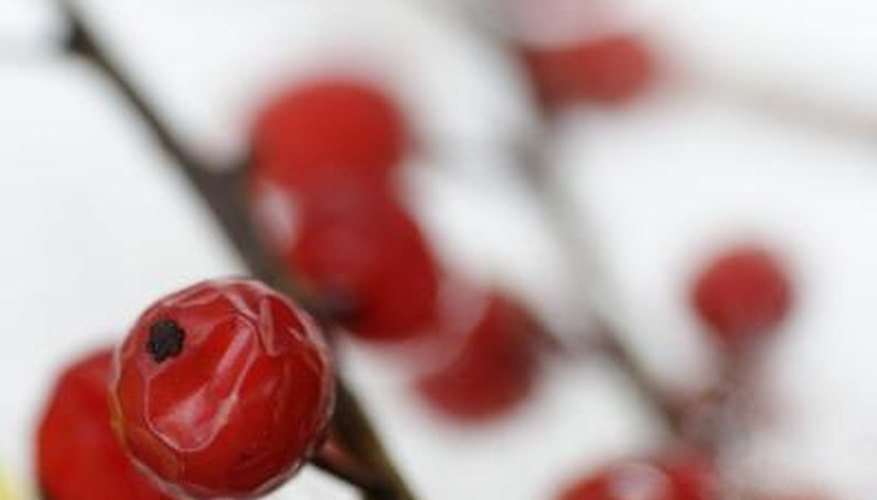 Red berries against white snow background
