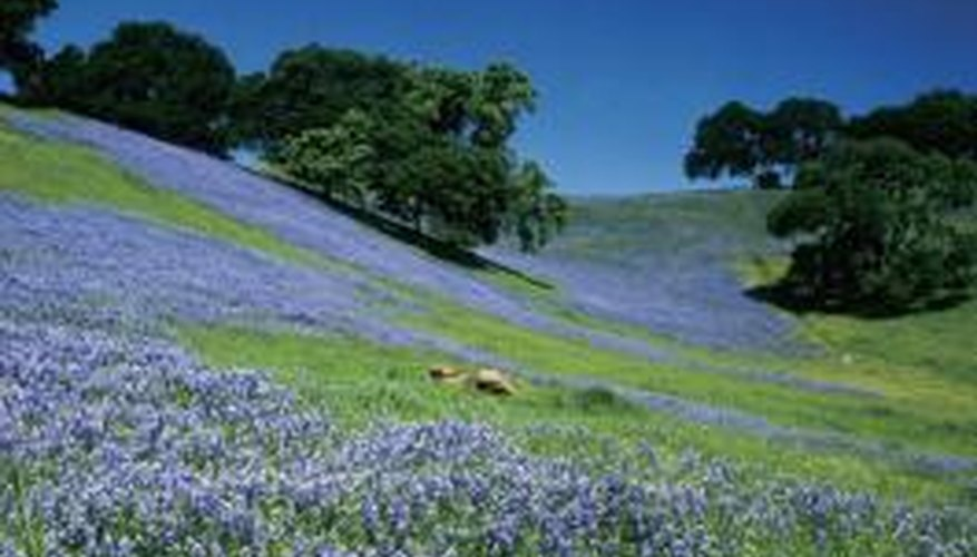 The hill country in south central Texas is a frequent viewing area for bluebonnets in bloom.