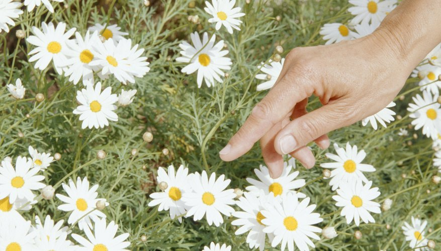 Chamomile can spread aggressively in its preferred growing conditions.