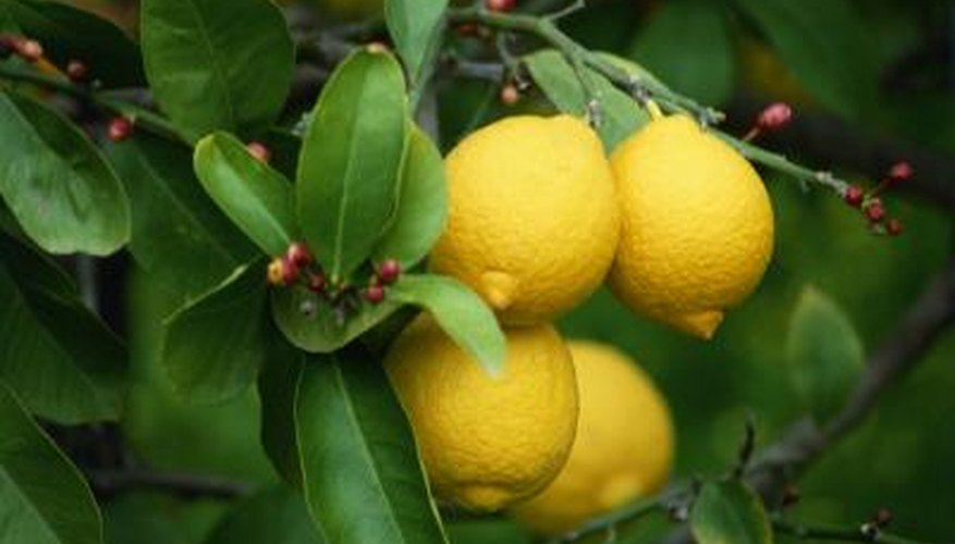 Lemon trees may reach 30 feet tall.