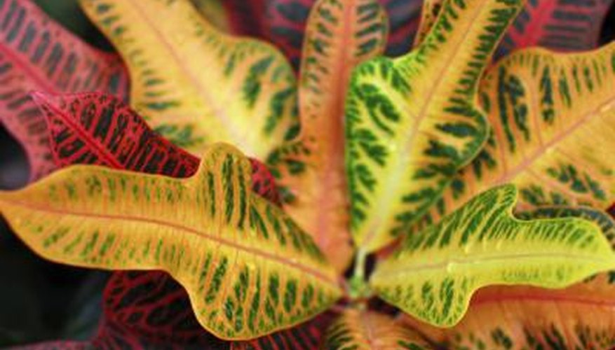 The leaves of an indoor croton plant.