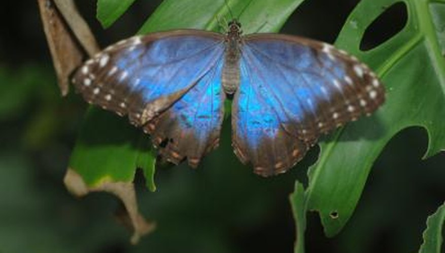 Blue Morpho on plant at night