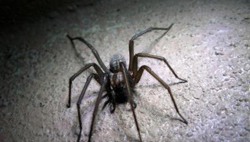 Common Black Spiders Garden Guides