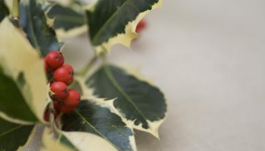 Close up of holly plant.