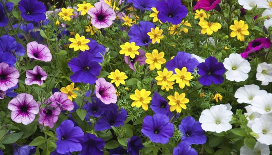A mix of petunias growing in a garden.