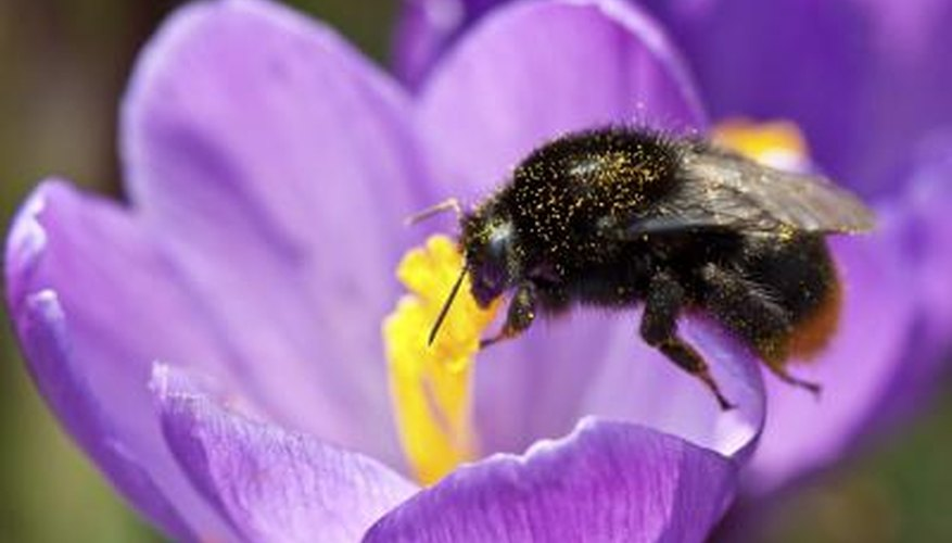 Bees rely on pollen as a source of protein.