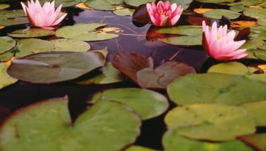 Water lilies floating on the surface of the water