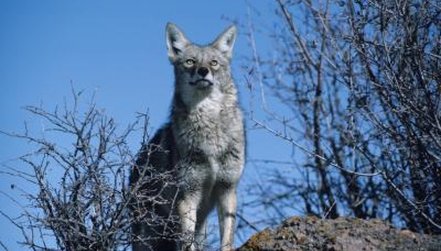 A coyote stands on a hill in North America.