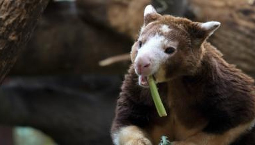 tree kangaroo eating plant
