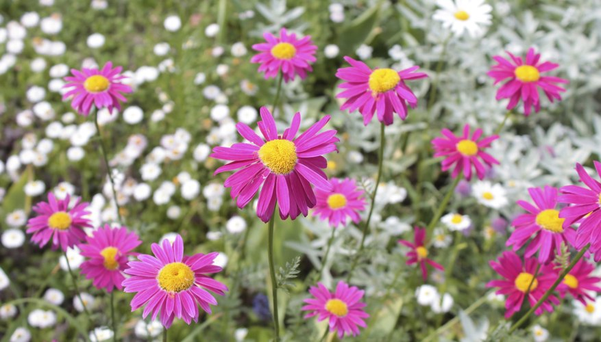 Pyrethrum daisy is also called