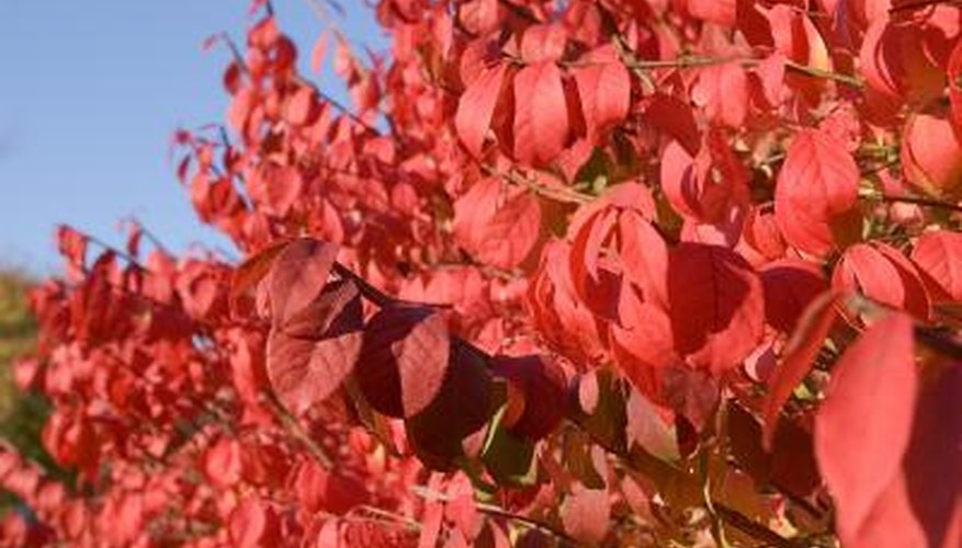 A close-up of burning bush leaves.