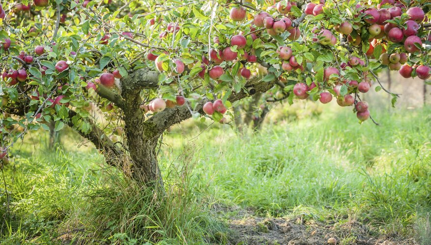 Apple trees possess a handsome, spreading growth habit.