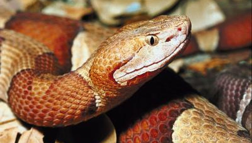 Though they lack rattles, copperheads will vibrate their tails when threatened.
