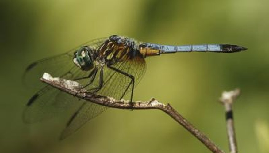 Dragonflies start their life as eggs.