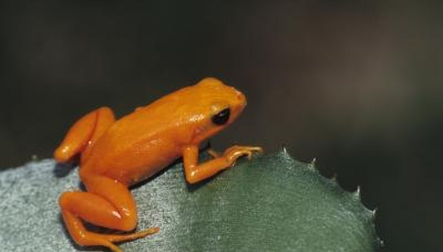 Golden frog in rainforest.