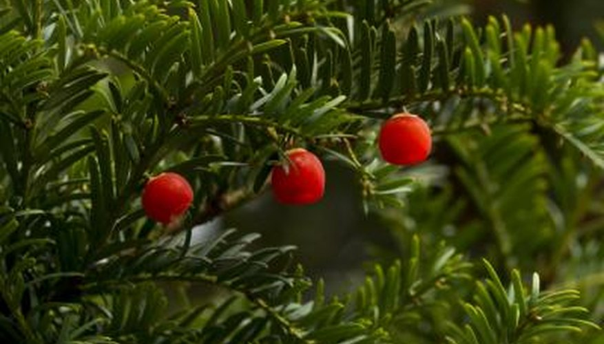 Berries on a Yew tree