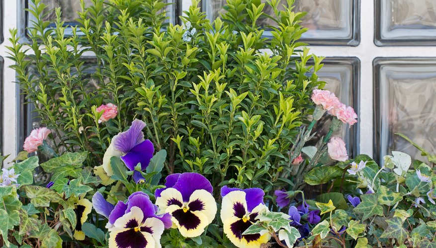 Pansies do well in containers and planter boxes and are perfect for patios.