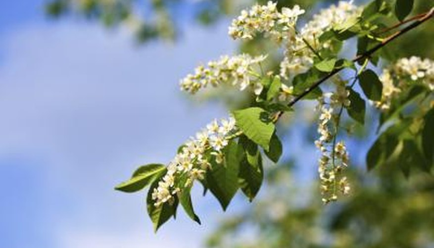 Interesting Facts About The Hackberry Tree Sciencing
