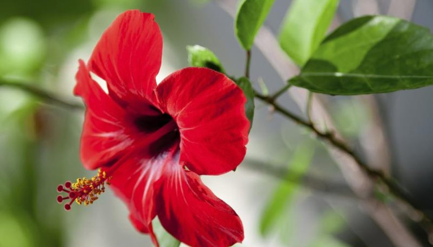 A red hibiscus flower blooming.