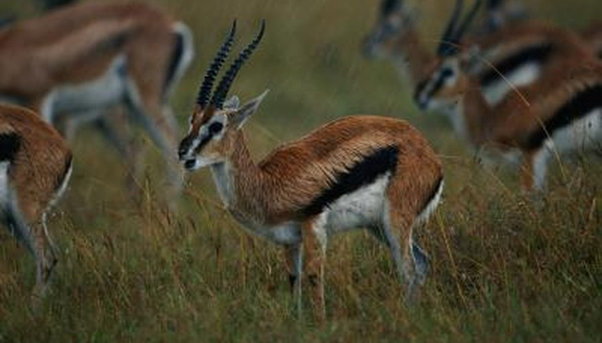 A group of gazelles stand still.