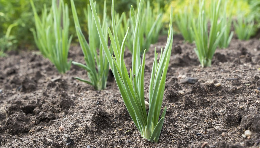 Remove rocks and hard clumps of soil from onion planting beds.