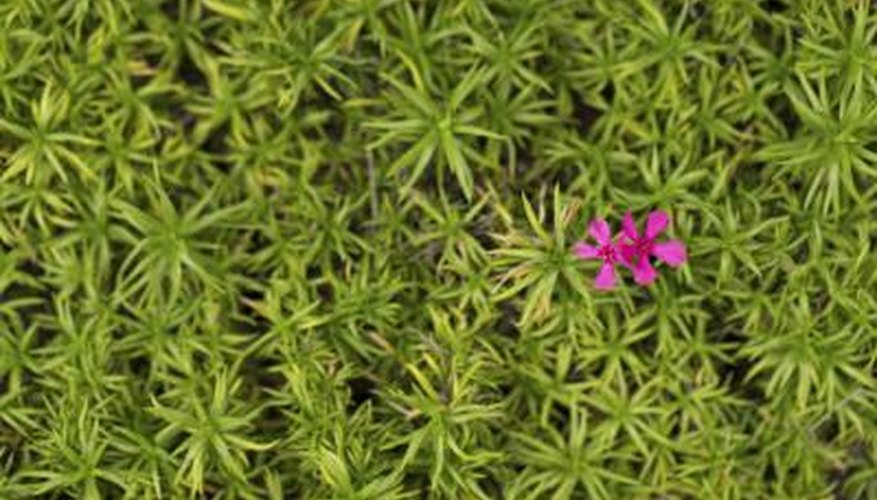 Moss pink is suitable for rock gardens.