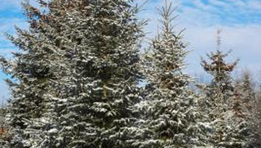 Many coniferous species have adaptation strategies for the winter.