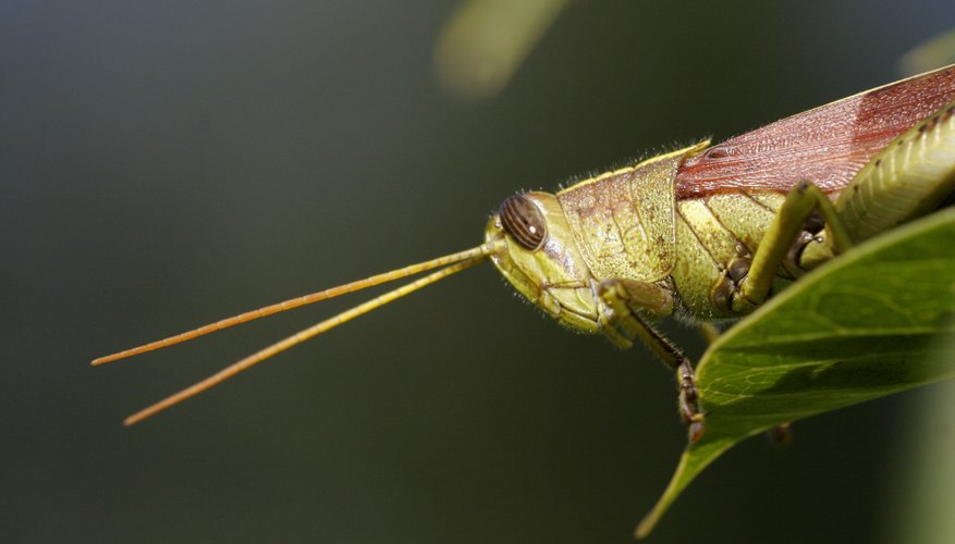 Chewing insects include grasshoppers, caterpillars and beetles.