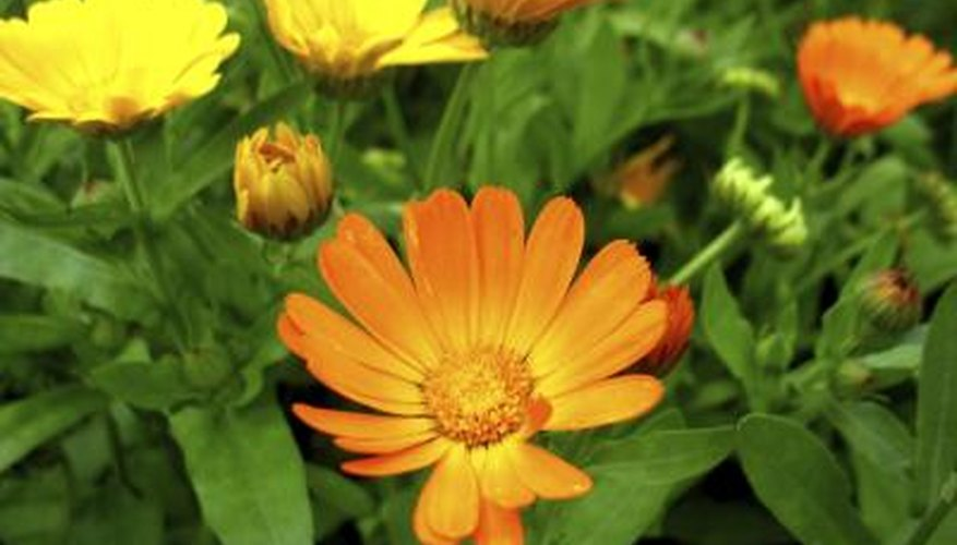 Calendula flowers are yellow, red or orange.