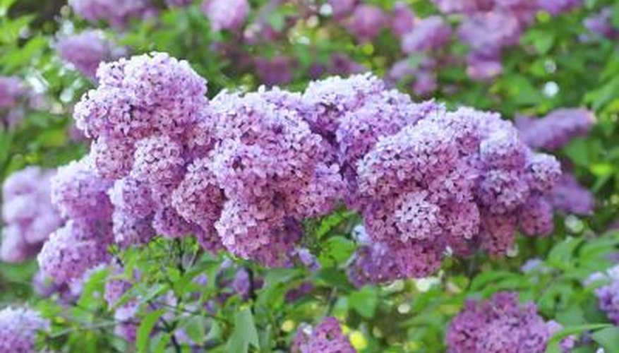 A branch of purple lilac flowers.
