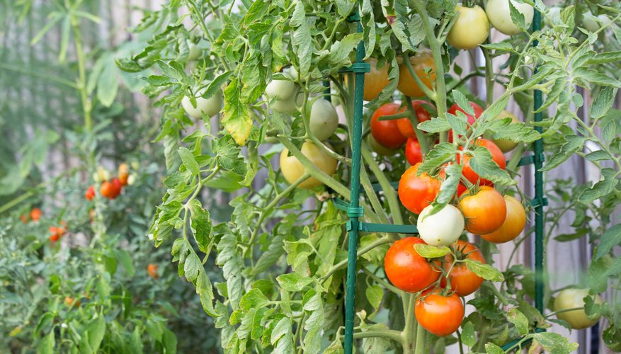 Staking tomato plants saves space in the garden and allows more room for additional plants.