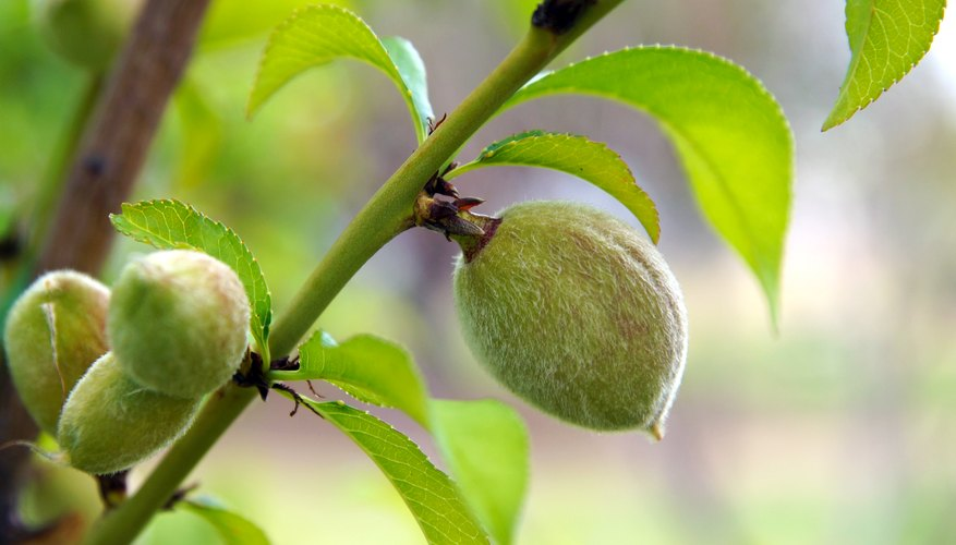 Nectarine Tree Leaves How to Grow a N...