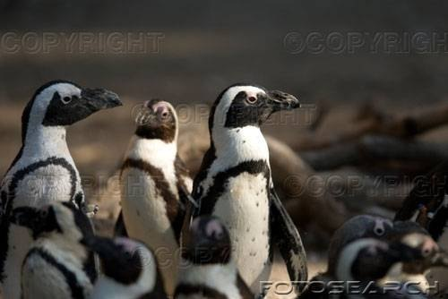 Blackfooted Penguins