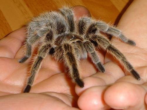 How Do Tarantulas Move?