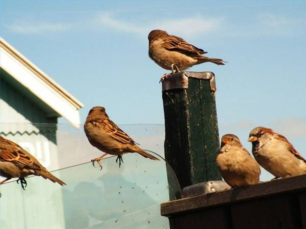 How Do Sparrows Mate?