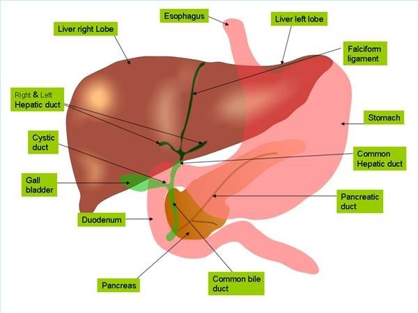 what does the liver do with amino acids? | ehow, Human Body